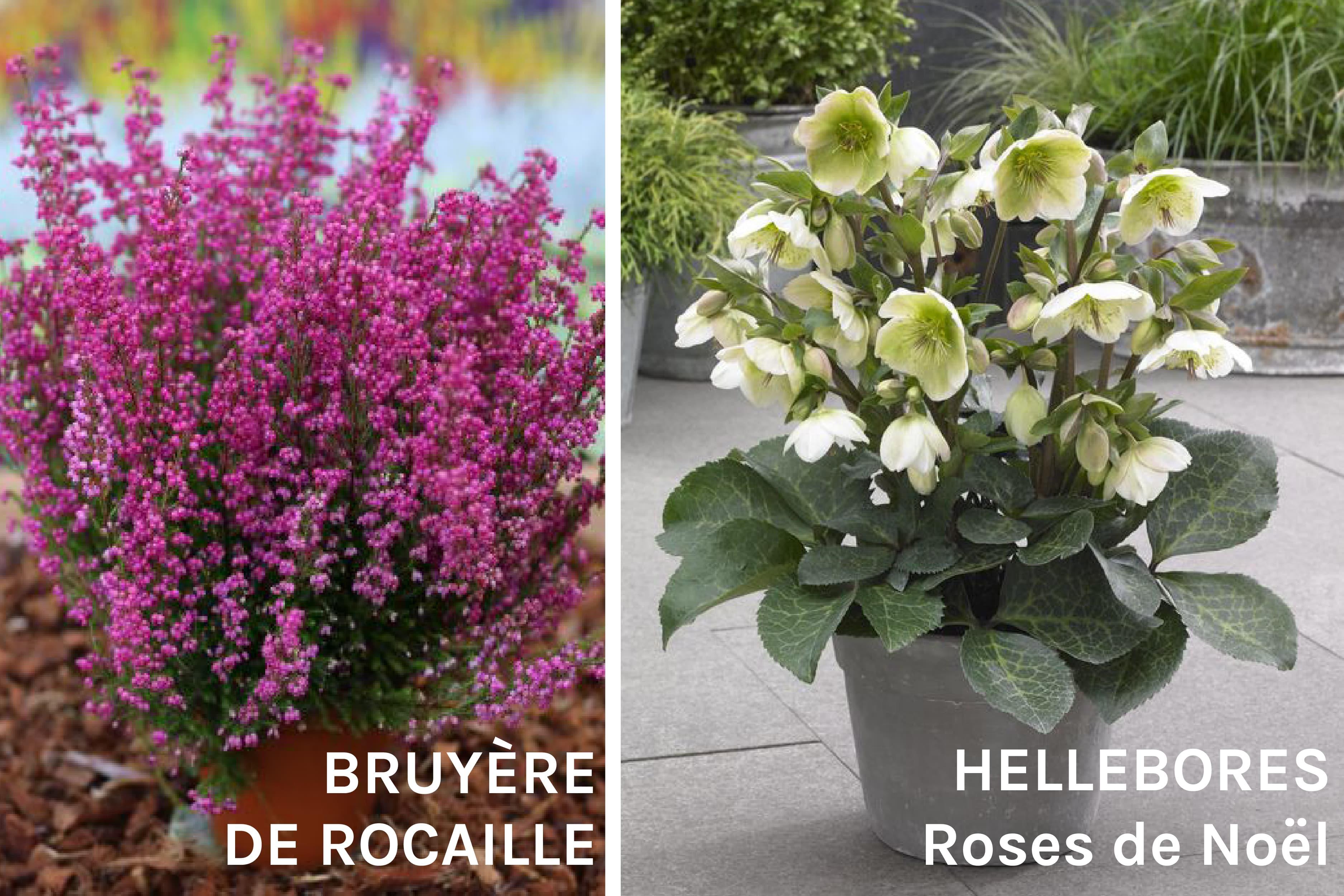 Hellebore Rose De Noel Entretien fleurs de cimetière en hiver   -20% en ligne   maison cridel